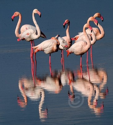 Wonderful Rose Flamingos live in the salters in Sant'Antioco, Calasetta and Carloforte