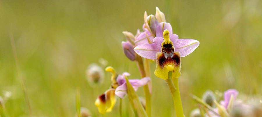 Here we are, native orchids flowering period is now!
